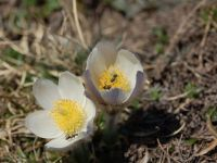 anemone primaverile